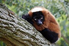 Red lemur Royalty Free Stock Photo
