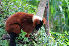 Red lemur Stock Image