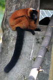Red lemur sitting Royalty Free Stock Images