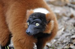 Lemur vari Royalty Free Stock Photos