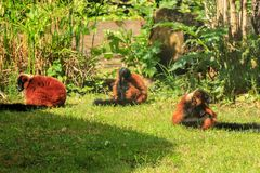Red lemurs. Three red lemurs sit on the grass Royalty Free Stock Photography