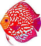 Red leopard discus fish Royalty Free Stock Images