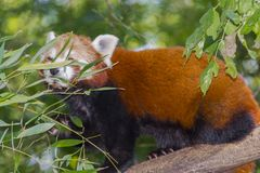 Red or lesser panda stock photo