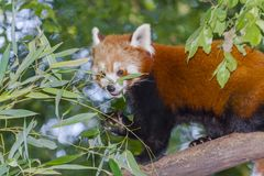 Red or lesser panda. Ailurus fulgens eating bamboo royalty free stock photography