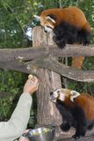 Red or lesser panda. Ailurus fulgens feeding royalty free stock images