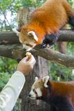Red or lesser panda royalty free stock photos
