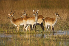 Red Letchwe stock images