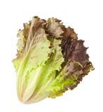 Red lettuce. Isolated on white Stock Images