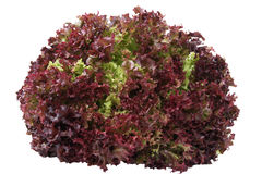 Red Lettuce Royalty Free Stock Photos