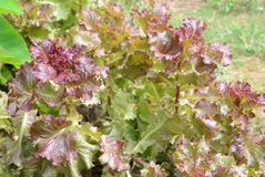 Red lettuce Royalty Free Stock Image