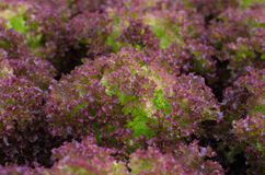 Red lettuce Royalty Free Stock Images