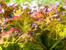 Red Lettuce Closeup Royalty Free Stock Photography