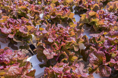 Red lettuce cultivation on hydroponic Stock Photography
