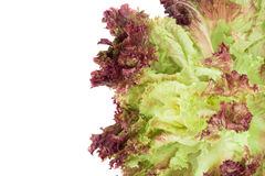 Red lettuce isolated on white. Royalty Free Stock Image
