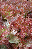 Red lettuce leaves Stock Photography