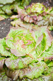 Red lettuce plants Royalty Free Stock Photo