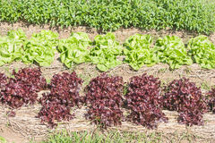 Red lettuce in plots covered with straw. Royalty Free Stock Images