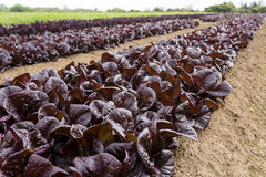Red Lettuce Rows Royalty Free Stock Photography