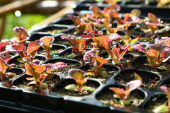 Red lettuce in seeding tray Royalty Free Stock Images
