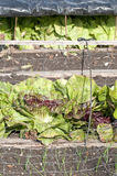 Red lettuce under a protection mesh stock photos