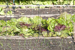 Red lettuce under a protection mesh Stock Image