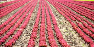 Red lettuces Royalty Free Stock Photography
