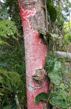 Red lichen. Red lichen covering a tree trunk stock image