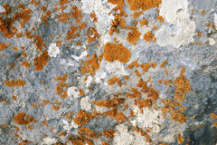 Red lichen. On the gray stone background with focus on central part royalty free stock images