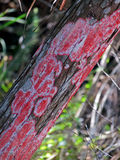 Red lichen. Growing On Tree Trunk at Six Mile Cypress Slough Preserve Fort Myers Florida stock image