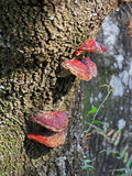 Red lichen on a tree trunk Stock Photography