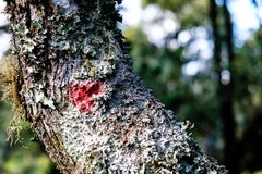 Red lichen on tree trunk. Full of green lichen royalty free stock photos