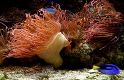Red life coral. Aquarium with beautiful red life coral and blue fish Royalty Free Stock Photo