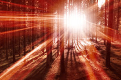 Red light in the forest with sun rays Stock Photo