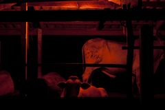 Cow in farm. Red light for protect Cow in the farm from insect royalty free stock image