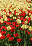 Red and light yellow tulips field Stock Photos