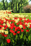 Red and light yellow tulips garden Royalty Free Stock Photos
