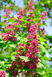 Red lilac. Deep violet lilac in the garden Royalty Free Stock Images