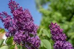 Red lilac close-up on blue sky background royalty free stock photo