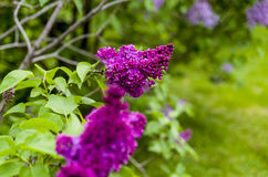 Red lilac Stock Photos