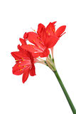 Red lilies Royalty Free Stock Photos