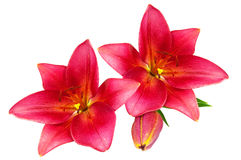 Red lilies Royalty Free Stock Image