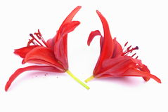 Red lilies Stock Photography