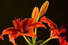 Red lilies on black background Stock Photography