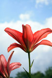 Red lilies flowers two shot close up from side Royalty Free Stock Image