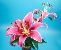Red lilies in front of white background Stock Images