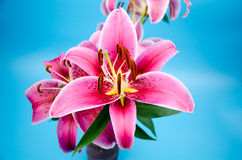 Red lilies in front of white background Royalty Free Stock Photo