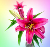 Red lilies in front of white background Royalty Free Stock Images
