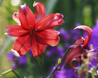 Red lilies in garden. Beautiful red lily buds in summer garden Royalty Free Stock Photo