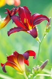 Red lilies in gatrden. Red lilies in garden close up Royalty Free Stock Images