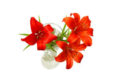 Red lilies (Lilium pensylvanicum). Red lilies on a white background. (Lilium pensylvanicum Stock Images